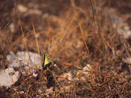 Swallowtail butterfly photographed by Jeffrey Zablow at Mt. Meron, Israel