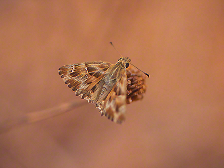 Mallow skipper butterfly photographed by Jeffrey Zablow at Mishmarot,  Israel
