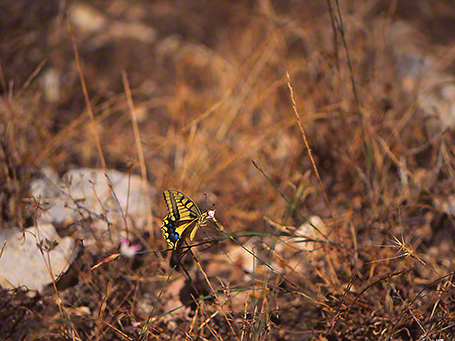 Swallowtail butterfly photographed by Jeffrey Zablow at Mt. Meron