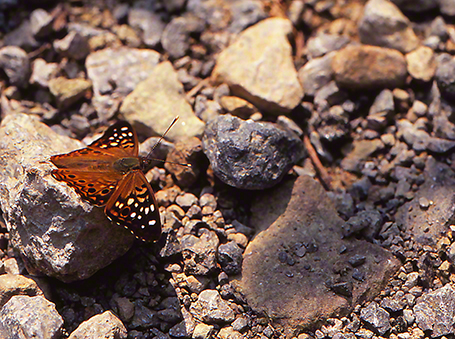Hackberry emperor butterfly photographed by Jeffrey Zablow at Mississippi