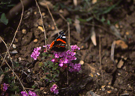 Red admiral butterfly photographed by Jeffrey Zablow at Ramat Hanadiv, Israel