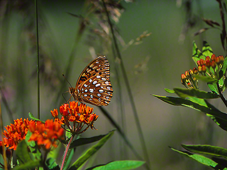 Great spangled fritillary butterfly photographed by Jeffrey Zablow at Raccoon Creek State Park