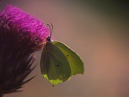 Gonepteryx farinosa butterfly photographed by Jeffrey Zablow at Mt. Hermon, Israel