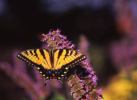 Tiger swallowtail butterfly photographed by Jeffrey Zablow at Phipps Conservatory, Pittsburgh