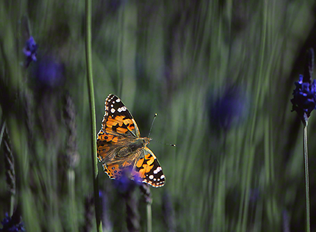 Painted lady butterfly photographed by Jeffrey Zablow at Ramat Hanadiv,  Israel