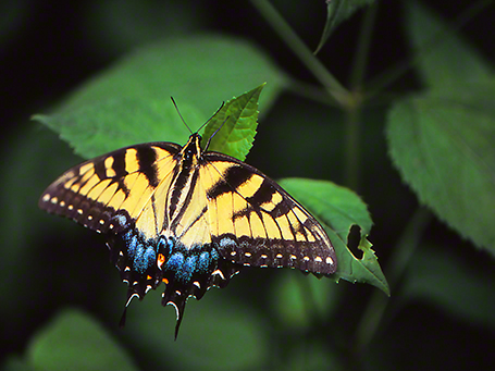 Tiger swallowtail butterfly photographed by Jeffrey Zablow at Raccoon Creek S.P., PA
