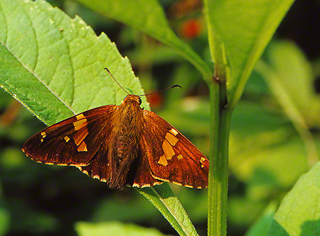 Gray-spotted skipper butterfly photographed by Jeffrey Zablow at Raccoon Creek State Park, PA