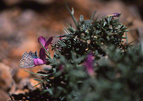 Cyaniris antiochena butterfly photographed by Jeffrey Zablow at Northernmost Golan, Israel