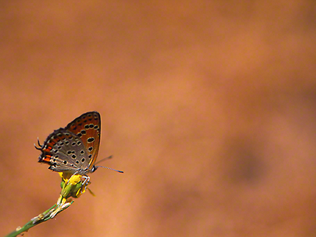 Lycaena thersamon butterfly photographed by Jeffrey Zablow at Mt. Hermon, Israel