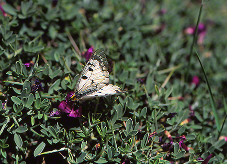Levantine marbled white butterfly photographed by Jeffrey Zablow at Mt. Hermon, Israel