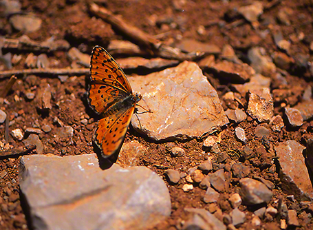 Melitaca trivia butterfly photographed by Jeffrey Zablow at Mt. Hermon, Israel