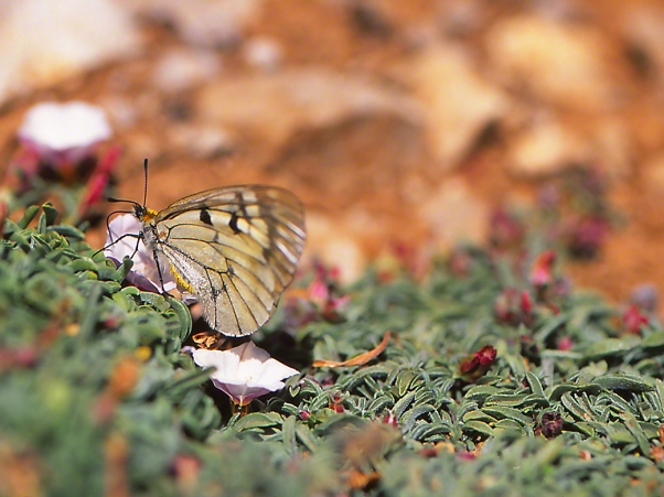 Parnassius mnemosyne butterfly photographed by Jeffrey Zablow at Mt. Hermon, Israel