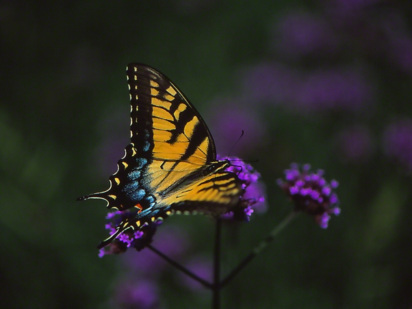 Tiger Swallowtail butterfly photographed by Jeffrey Zablow