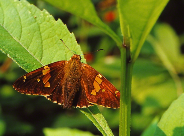 Silver-spotted skipper butterfly photographed by Jeffrey Zablow at Raccoon Creek State Park, PA