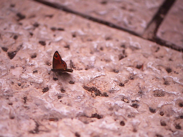Turkish meadow brown butterfly photographed by Jeffrey Zablow at Jerusalem, Israel