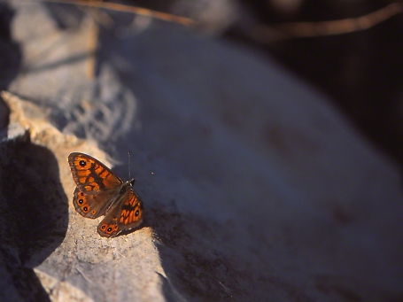 Lasiommata Megera butterfly photographed by Jeffrey Zablow at Mt. Meron
