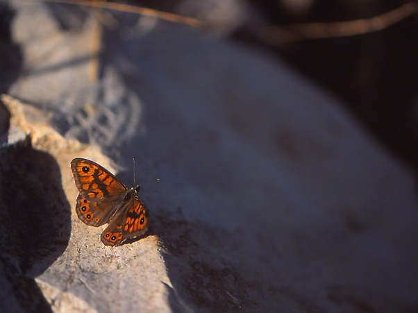 Lasiommata Megera butterfly photographed by Jeffrey Zablow at Mt. Meron