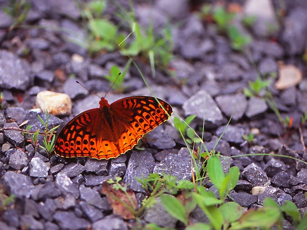 Great Spangled Fritillary butterfly photographed by Jeffrey Zablow at Raccoon Creek State Park, PA