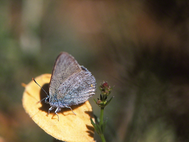 Nordmannia Myrtale butterfly photographed by Jeffrey Zablow at Mt. Hermon, Israel