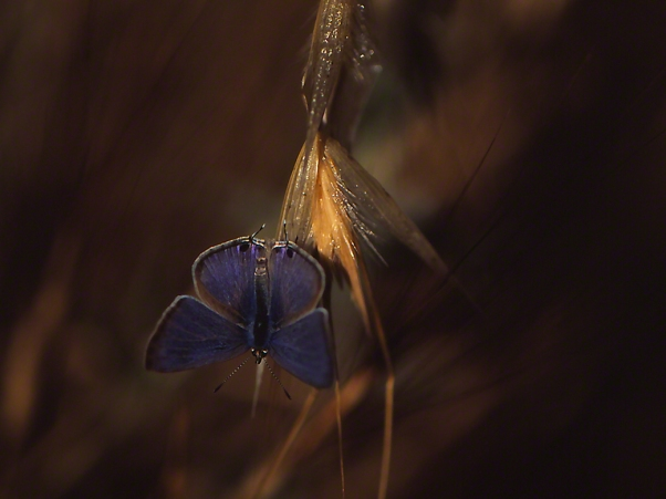 Long tailed blue butterfly photographed by Jeffrey Zablow at Mt. Meron