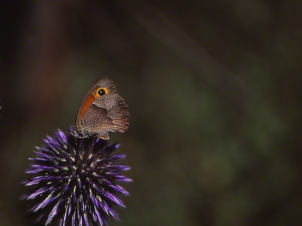 Turkish Meadow Brown butterfly photographed by Jeffrey Zablow at Mt. Meron