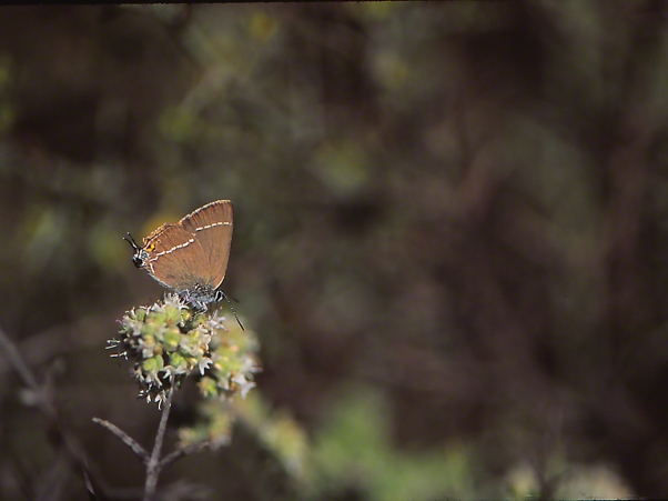 Blue spotted hairstreak butterfly photographed by Jeffrey Zablow at Mt. Meron