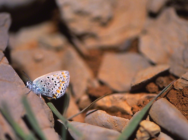 Plebejus evrypilus butterfly photographed by Jeffrey Zablow at Mt. Hermon, Israel