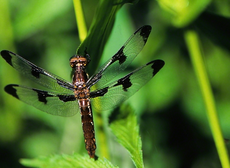 Darner dragonfly photographed by Jeff Zablow at Raccoon Creek Park, PA, 6/7/07