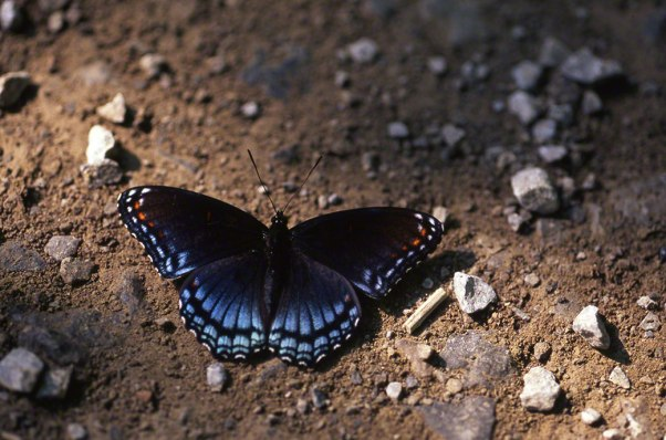 Red-Spotted Purple Butterfly photographed by Jeff Zablow at Raccoon Creek State Park