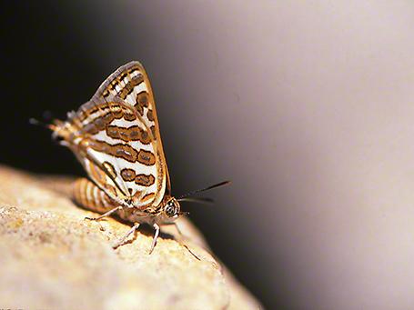 Apharitis Acama photographed by Jeff Zablow on Mt. Hermon, Israel, 6/16/08