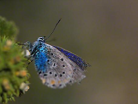 Plebejus Pylaon Nichollae butterfly photographed by Jeff Zablow at Mt. Hermon, Israel, 6/16/08