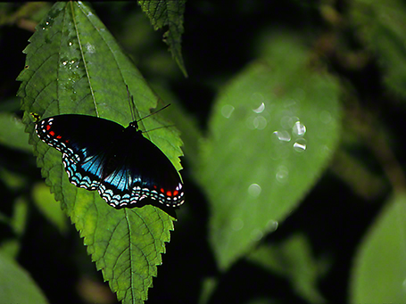 Red-Spotted Purple butterfly photographed by Jeff Zablow at Raccoon Creek Park, PA, 8/03/09