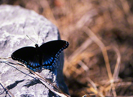 Red-Spotted Purple butterfly photographed by Jeff Zablow at Leroy Percy Park, Hollandale, MS, 9/08/09