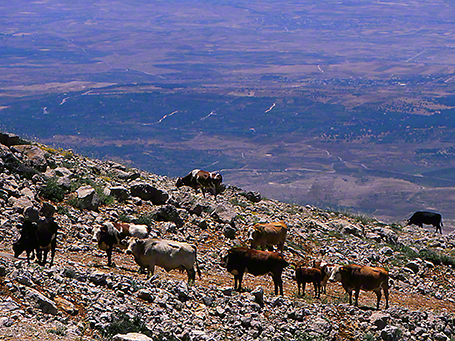Cattle on Mt. Hermon, Israel photographed by Jeff Zablow, 6/16/08