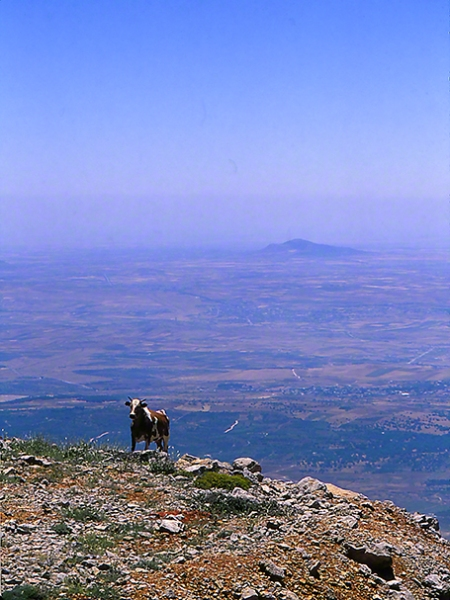 Cow photographed by Jeff Zablow on Mt. Hermon, Israel, 6/16/08