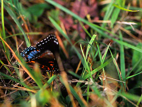 Red-Spotted Purple butterfly photographed by Jeff Zablow at Raccoon Creek Park, PA, 7/26/07