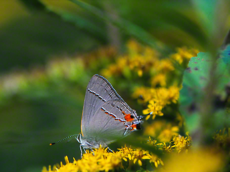 Gray Hairstreak butterfly photographed by Jeff Zablow at Raccoon Creek Park, PA, 9/21/06