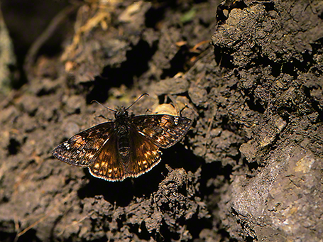 Horace's Duskywing butterfly photographed by Jeff Zablow at Raccoon Creek Park, PA, 5/08/07
