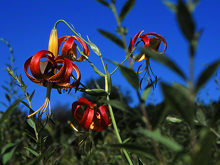 Turk's Cap Lilly Wildflowers photographed by Jeff Zablow at Rector, PA, 8/1/05