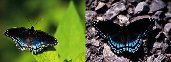 Red-Spotted Purple butterflies photographed by Jeff Zablow at Raccoon Creek Park, PA, 7/15/07 and 8/24/07