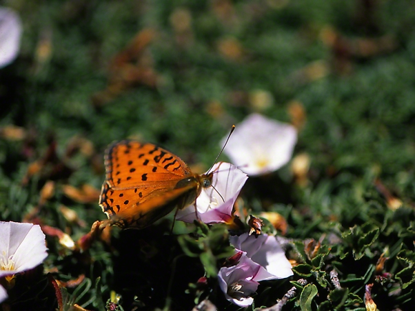 Melitaea Persea Montium butterfly photographed by Jeff Zablow on Mt. Hermon, Israel, 6/16/08