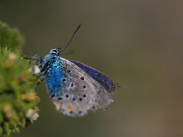 Plebejus Pylaon Nichollae butterfly photographed by Jeff Zablow at Mt. Hermon, Israel, 6/16/08
