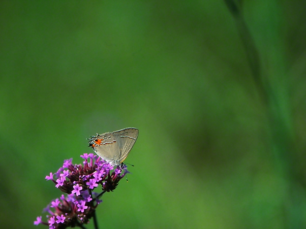 Gray Hairstreak butterfly photographed by Jeff Zablow at Phipps Conservatory, Pittsburgh, PA, 8/25/10