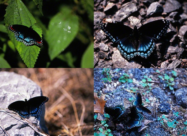 Red-Spotted Purple butterflies photographed by Jeff Zablow