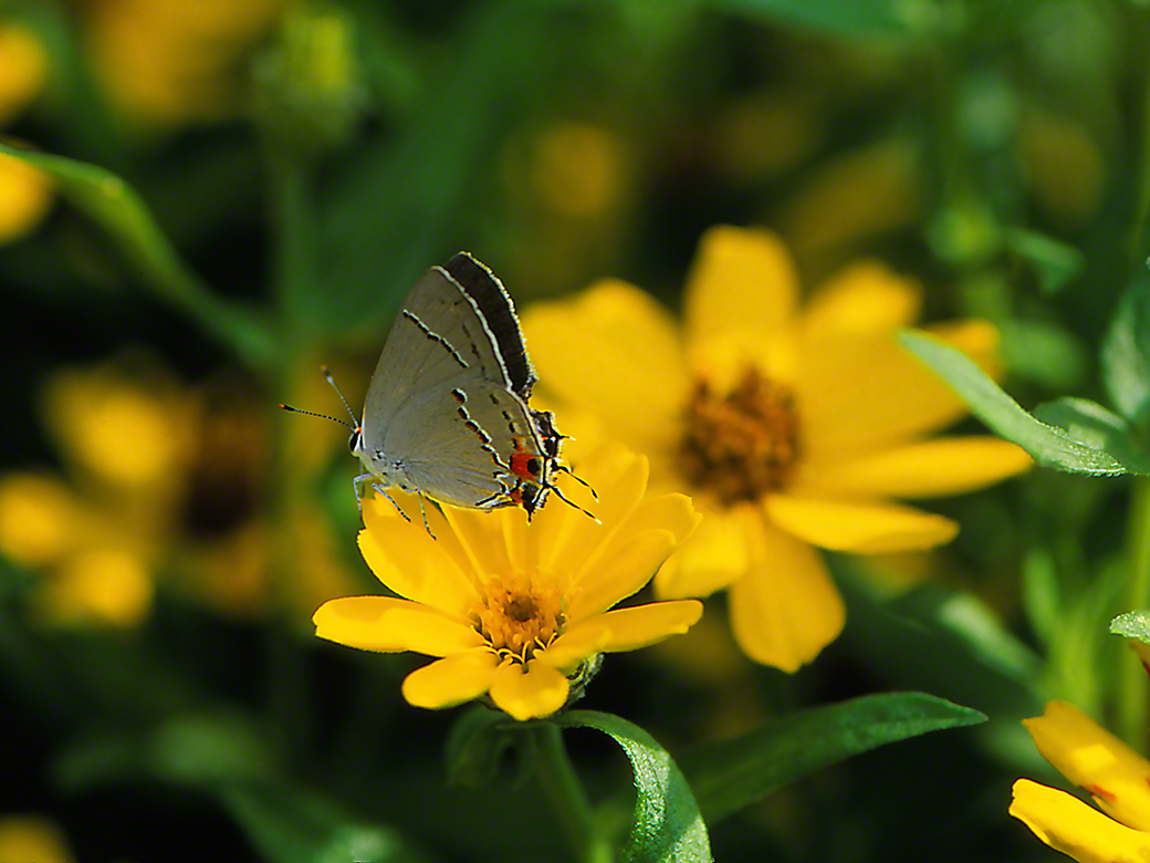 Gray Hairstreak butterfly photographed by Jeff Zablow at Phipps Conservatory, Pittsburgh, PA, 7/11