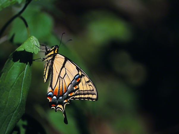 Tiger swallowtail butterflies photographed by Jeff Zablow at Raccoon Creek State Park, PA