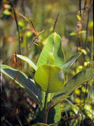 Common milkweed photographed by Jeff Zablow at Eastern Neck National Wildlife Refuge, Rock Hall, MD