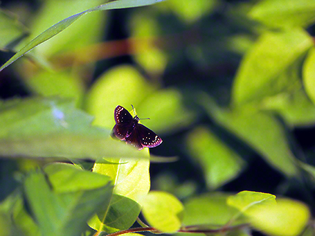 Common Sootywing butterfly photographed by Jeff Zablow at Eastern Neck National Wildlife Refuge, Rock Hall, MD