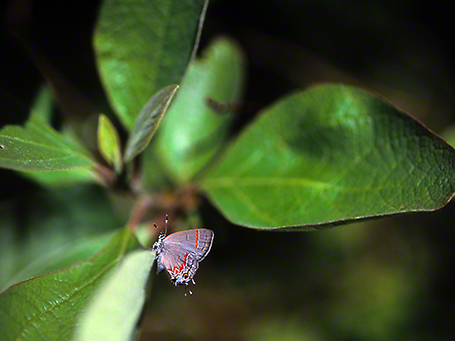 Red-banded hairstreak butterfly photographed by Jeff Zablow at Eastern Neck National Wildlife Refuge, Rock Hall, MD