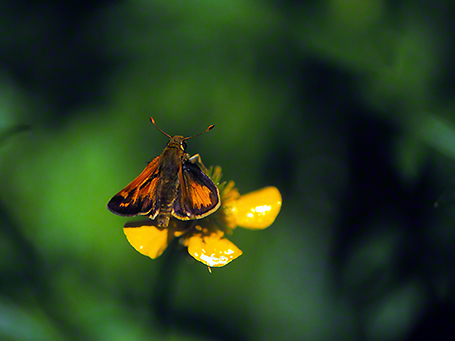 Skipper butterfly photographed by Jeff Zablow at Raccoon Creek State Park, PA